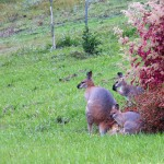 Wallabies outside Diary Cottage